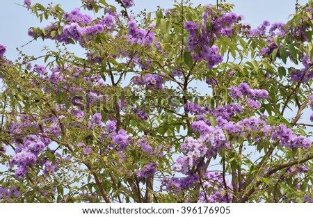 Texture of of Lagerstroemia  flower blossom with blue sky background.Selective focus with shallow depth of field. - stock photo