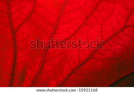 Texture of red leaf