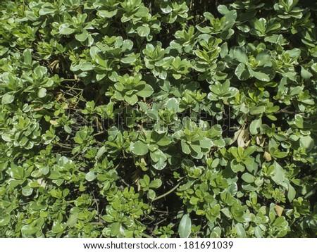 Texture of shrub. - stock photo