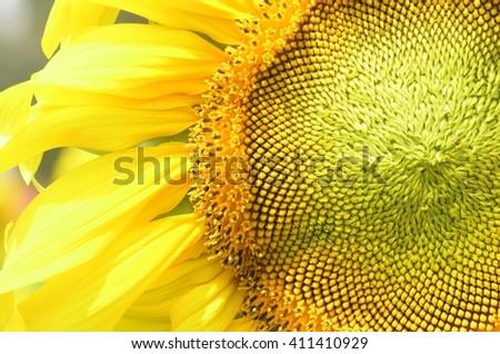 texture of  sunflower - stock photo