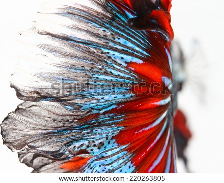 Texture of tail siamese fighting fish - stock photo