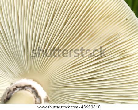 texture of underside gills of mushroom fungi macro - stock photo