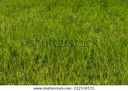 Texture or background of natural green grass on meadow  - stock photo