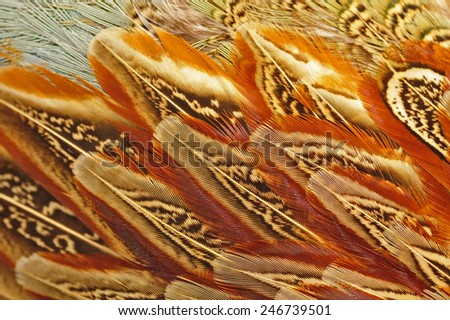 Texture pheasant feather - stock photo