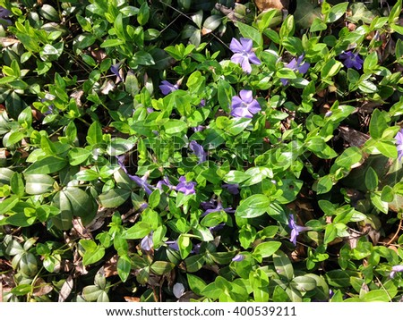 Texture - small purple flowers and green leaves, New York City, Central Park