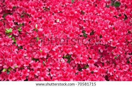 Textured background of beautiful red azalea flowers - stock photo