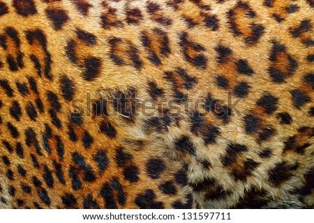 textured detail of leopard fur ( panthera pardus ) - stock photo