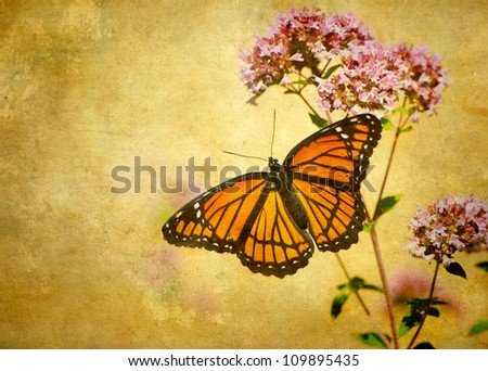 Textured image of Viceroy butterfly (limenitis archippus) on some oregano flowers. - stock photo