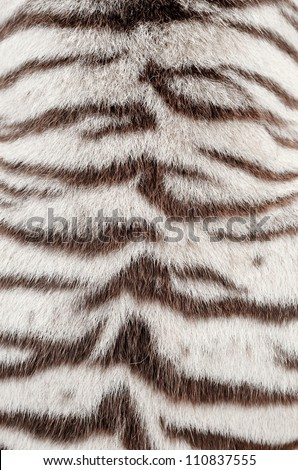 textured of real white bengal tiger fur - stock photo