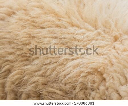 Textured of wool sheep closeup - stock photo