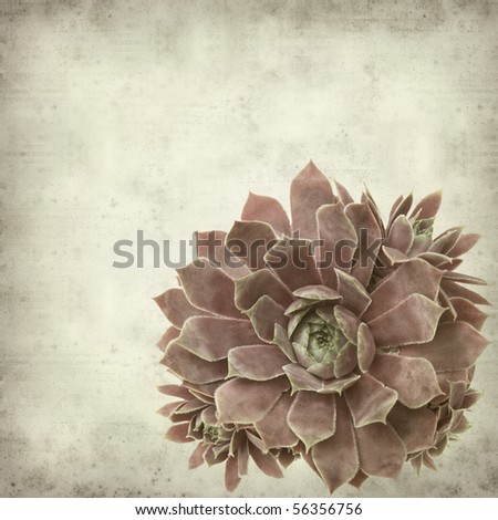textured old paper background with dark red sempervivum