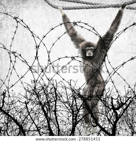 Textured old paper background  with Silver gibbon hanging on a rope behind the dead tree and barbed wire.Destruction of forests affect plants and animals concept - stock photo
