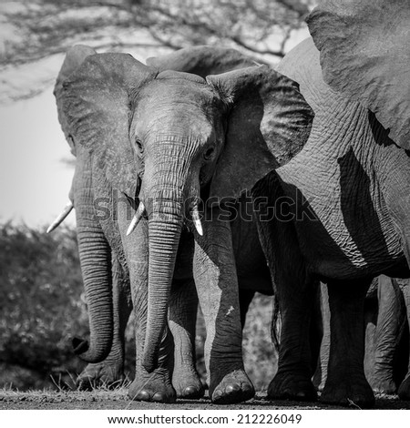 Textures of an African elephant in black and white, South Africa