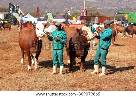 THABAZIMBI, SOUTH AFRICA - August 1:  Cattle Breeders Championship at Thabazimbi Show, on August 1, 2014 at Thabazimbi, South Africa. Brown with white on head Simmentaler cows with handlesr photo.