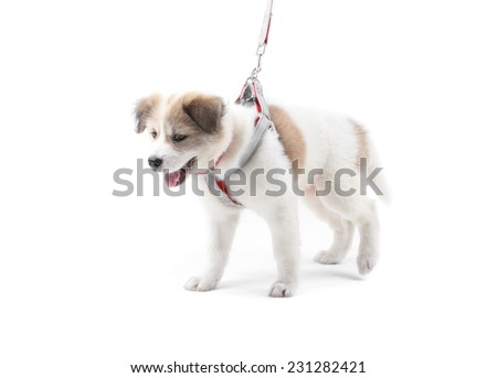 Thai Bang Kaew Puppy isolated on white - stock photo