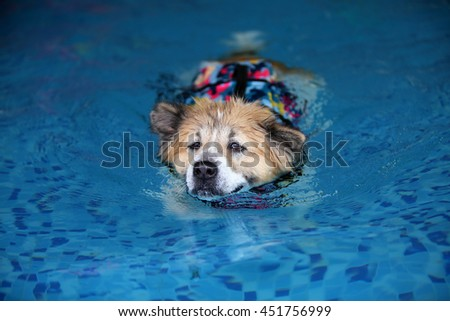Thai Bangkaew dog wear life jacket colorful military pattern swim in swimming pool, dog swimming, happy dog, dog activity - stock photo