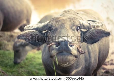 thai buffalo portrait , Close up portrait of cape buffalo head and eye - stock photo