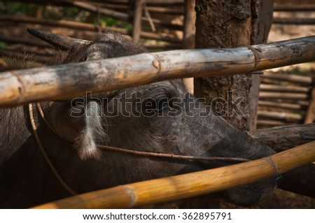 Thai buffalo portrait , Close up portrait of cape buffalo head and eye in countryside of Thailand - stock photo