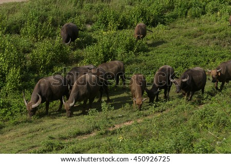 Thai Buffalo walk over the field.Animal wildlife.Buffaloes group.