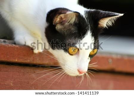 Thai Cat - stock photo