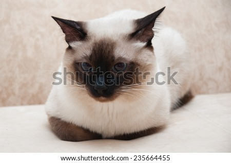 Thai cat color seal point lying on sofa - stock photo