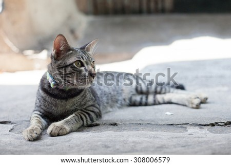 Thai cat in looking action - stock photo