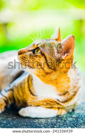 Thai cat in looking action, Thailand. - stock photo