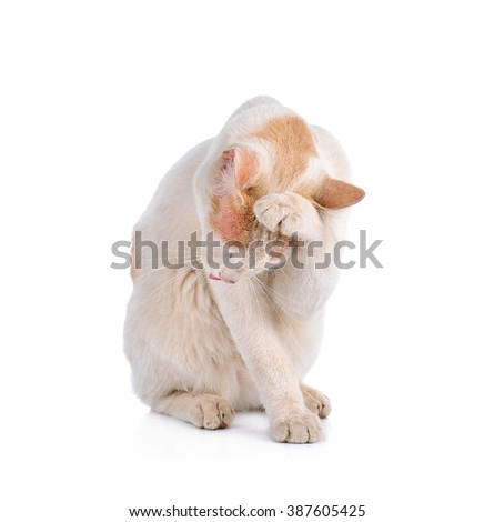 Thai cat isolated on the white background.