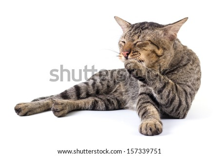 Thai cat licking its paw to clean up