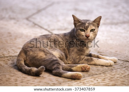 Thai cat resting on a cement floor.