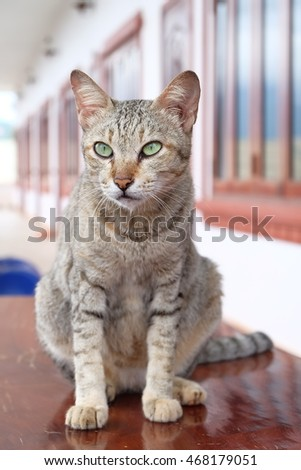Thai cat sitting on top wood table