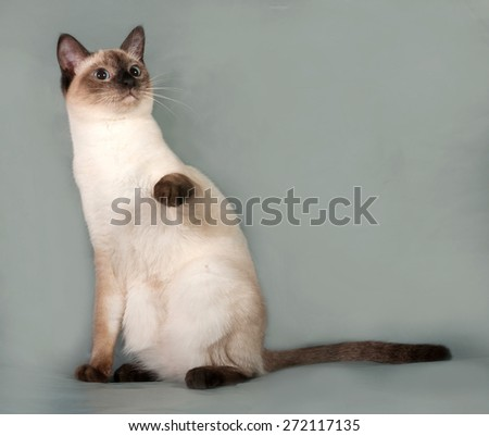 Thai cat with blue eyes sitting on gray background