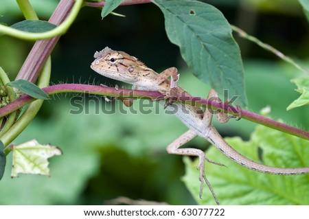 Thai chameleon - stock photo