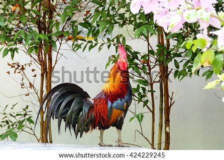 Thai chicken bantam in thai temple on morning time:Close up,select focus with shallow depth of field. - stock photo