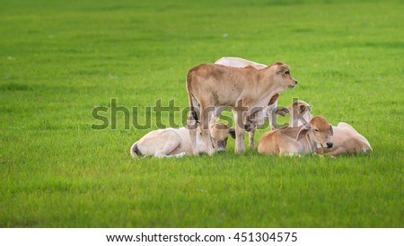 Thai cow are living in the the grassland. Everyday, they have breakfast and dinner together with the sunrise and the sunset.