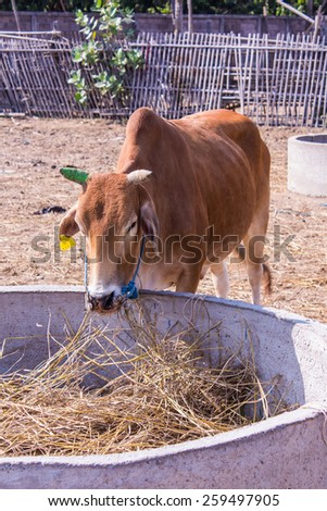 Thai cows eating in the farm - stock photo