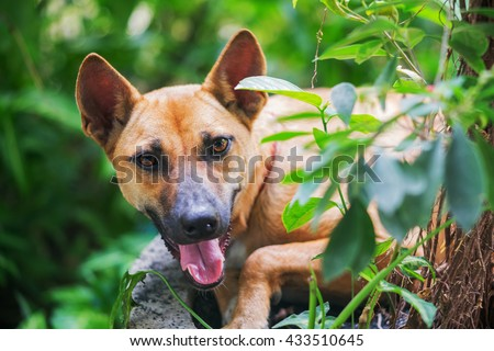 Thai dog looking up. - stock photo