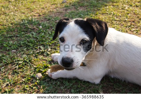 Thai dogs black and white polka dots, on the lawn. - stock photo
