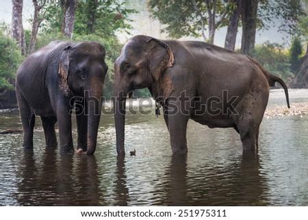 Thai Elephant in a forest at Kanchanaburi province, Thailand  - stock photo