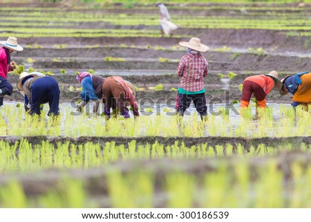 Thai farmer growing rice in Northern of Thailand