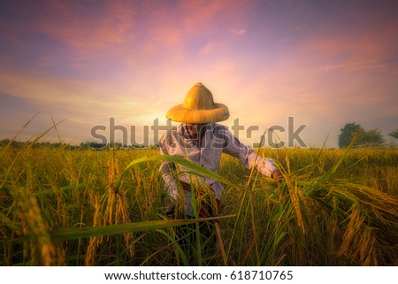 Thai farmer man is harvesting rice in harvest season, Agricultural is the main occupation of Thailand.