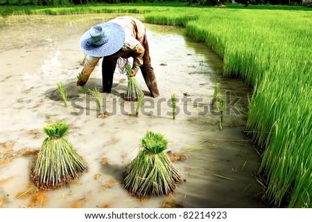 Thai farmer planting on the paddy rice farmland - stock photo