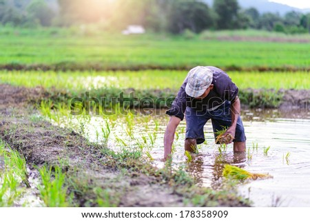 Thai farmer planting on the paddy rice farmland in sunset