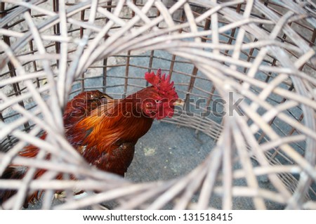 thai fighting cock in tradition bamboo cage. - stock photo