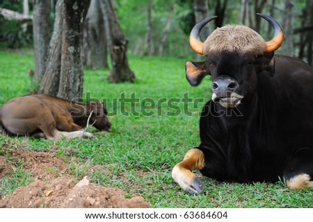 Thai gaur - stock photo