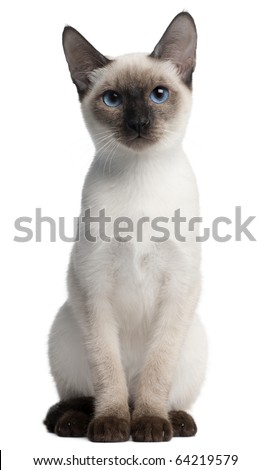 Thai kitten, 5 months old, sitting in front of white background - stock photo