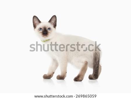 Thai kitten on white background - stock photo