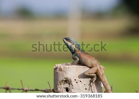 thai lizard - stock photo