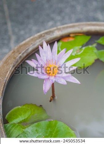 Thai lotus flower dauben scientific name stock photo safe to use thai lotus flower or dauben scientific name nymphaea spphybrid of nymphaea mightylinksfo