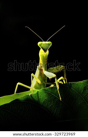 Thai Mantis on green foliage leaf isolated on black background